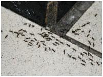 уничтожение муравьев в ташкенте