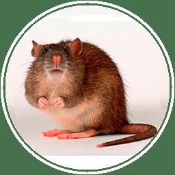 убить крыс